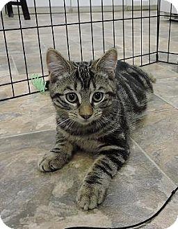 Domestic Shorthair Kitten for adoption in Massapequa, New York - Sabrina