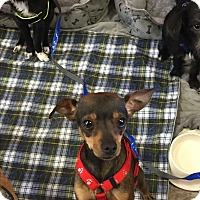 Adopt A Pet :: Nicolas - Brea, CA