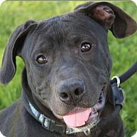 Adopt A Pet :: HERSHEL - Red Bluff, CA
