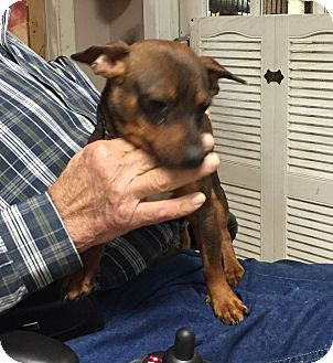 Miniature Pinscher Mix Dog for adoption in Metairie, Louisiana - MICKEY