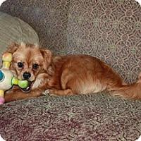 Pomeranian/Spaniel (Unknown Type) Mix Dog for adoption in Staunton, Virginia - Honey Bee