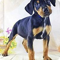 Adopt A Pet :: Nightcrawler - Griffin, GA