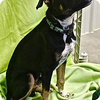 Adopt A Pet :: Skippy - Basehor, KS