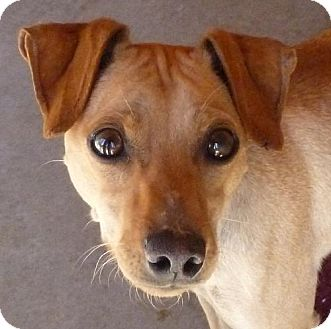 Chihuahua Mix Dog for adoption in Las Cruces, New Mexico - Auggie