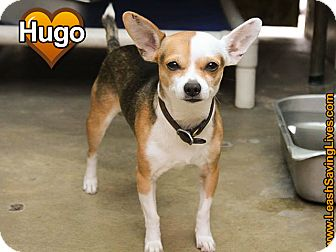 Chihuahua Mix Dog for adoption in Pitt Meadows, British Columbia - Hugo