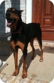 Doberman Pinscher Dog for adoption in Richmond, Virginia - Princess Leia