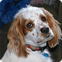 Adopt A Pet :: Freckles (Patches) - Seattle c/o Kingston 98346/ Washington State, WA