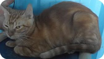 Domestic Shorthair Cat for adoption in Florence, Texas - Francine