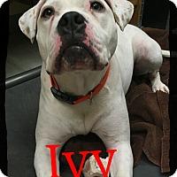Adopt A Pet :: Ivy - Old Saybrook, CT