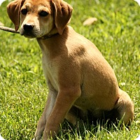 Adopt A Pet :: Abner - Harrisonburg, VA