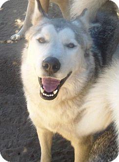 Alaskan Malamute/Siberian Husky Mix Dog for adoption in Pacific Grove, California - Shaver