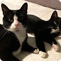 Domestic Shorthair Cat for adoption in Huntsville, Alabama - Chani & Harah