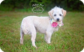 Maltese Mix Dog for adoption in Fort Valley, Georgia - Wiri