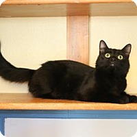 Domestic Mediumhair Cat for adoption in Yucaipa, California - Luna