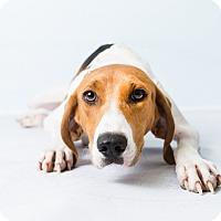 Adopt A Pet :: Corbin - Hendersonville, NC