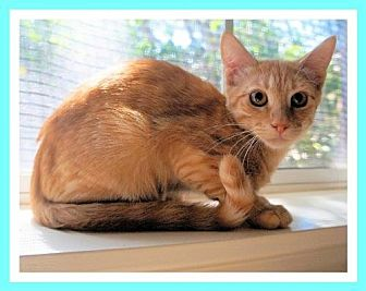 Domestic Shorthair Kitten for adoption in Euless, Texas - Kitten - Freddy