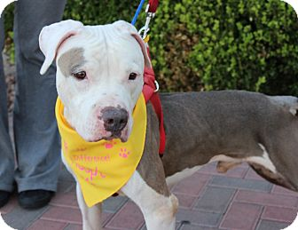 American Bulldog/American Pit Bull Terrier Mix Dog for adoption in Las Vegas, Nevada - MJ