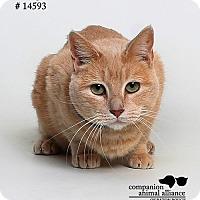 Domestic Shorthair Cat for adoption in Baton Rouge, Louisiana - Mango  (Foster Care)