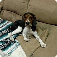 Treeing Walker Coonhound Dog for adoption in Lockport, New York - Pancho