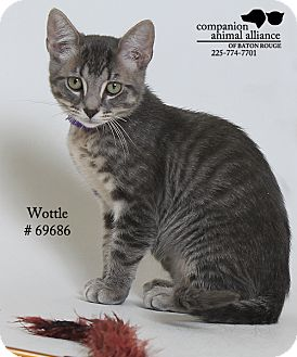 Domestic Shorthair Kitten for adoption in Baton Rouge, Louisiana - Wottle  (Foster Care)