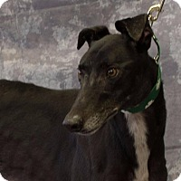 Adopt A Pet :: TNT Gunsmoke - Carol Stream, IL
