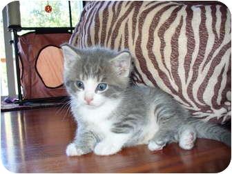 Domestic Shorthair Kitten for adoption in Union, Kentucky - Pandamonium