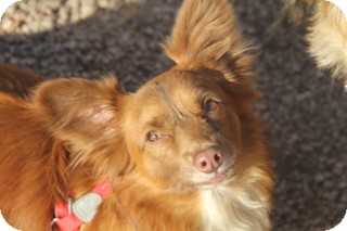 Dachshund/Corgi Mix Dog for adoption in Norwalk, Connecticut - Yoda - adoption pending
