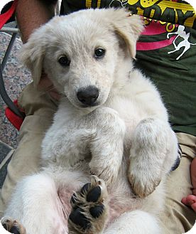 Great Pyrenees/Labrador Retriever Mix Puppy for adoption in Richmond