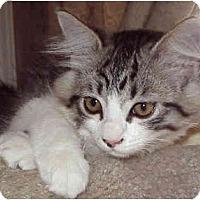 Adopt A Pet :: Persian Kitten #1 - Davis, CA