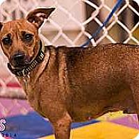 Miniature Pinscher Mix Dog for adoption in Syracuse, New York - Mercedes Aline