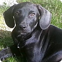 Adopt A Pet :: Brit - Freeport, NY