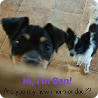 Adopt A Pet :: Ben - House Springs, MO
