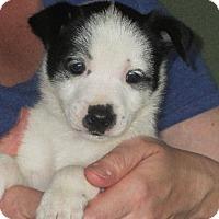 Adopt A Pet :: Otto - Salem, NH