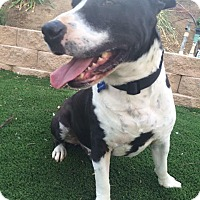 Pit Bull Terrier Mix Dog for adoption in Las Vegas, Nevada - Ferdinand