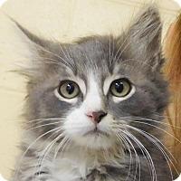 Adopt A Pet :: Cyan - Reduced Fee! - Jefferson, WI