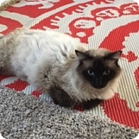 Siamese Cat for adoption in Arlington/Ft Worth, Texas - Ming