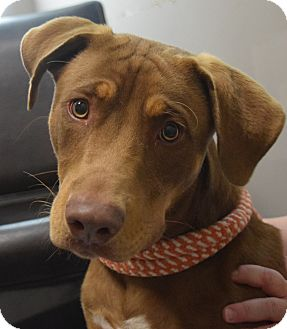 American Staffordshire Terrier Mix Dog for adoption in Friendswood, Texas - Loki