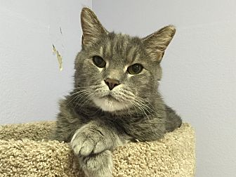 Domestic Shorthair Cat for adoption in Norwalk, Connecticut - Chunky