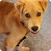 Adopt A Pet :: Kimber - Montpelier, VT