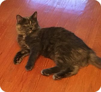 Domestic Mediumhair Kitten for adoption in Butner, North Carolina - Kit Kat