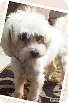 Maltese Mix Dog for adoption in Dallas, Texas - Beau