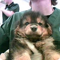 Adopt A Pet :: MEGAFLUFF - Conroe, TX