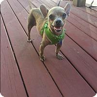 Adopt A Pet :: Phineas - Houston, TX