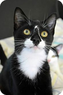 Domestic Shorthair Cat for adoption in Aiken, South Carolina - Roxie