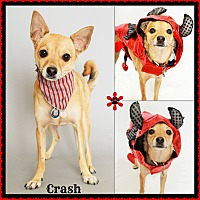 Chihuahua Mix Dog for adoption in Phoenix, Arizona - Crash