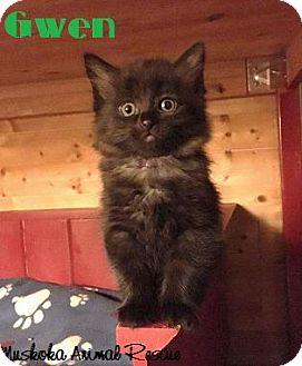 Domestic Mediumhair Kitten for adoption in Huntsville, Ontario - Gwen - Likes other pets!