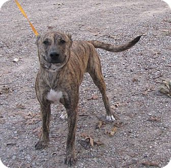 Mountain Cur Mix Dog for adoption in Springfield, Virginia - Tiger