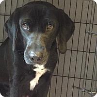 Labrador Retriever/Hound (Unknown Type) Mix Dog for adoption in ST LOUIS, Missouri - Birdie