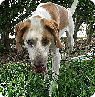 Hound (Unknown Type) Mix Dog for adoption in Key Biscayne, Florida - Ralphie
