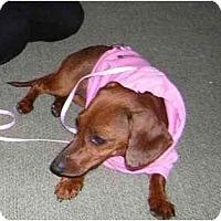 Adopt A Pet :: DIXIE DOLL - Portland, OR